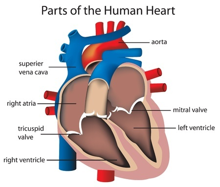 Anatomy of the heart. Heart valves
